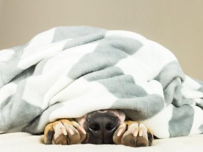 ブランケットに隠れる犬の手と鼻