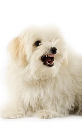 威嚇している白い犬