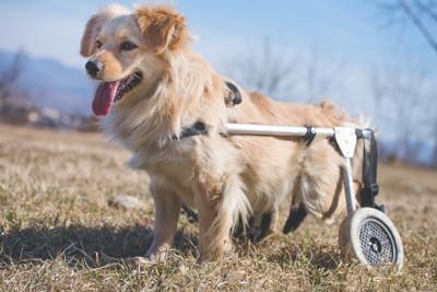 車いすを装着している犬