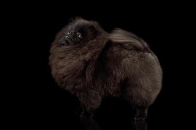 黒いポメラニアン全身写真
