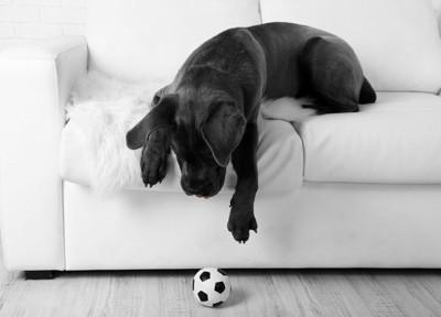 落ちたサッカーボールに手を伸ばす黒い犬