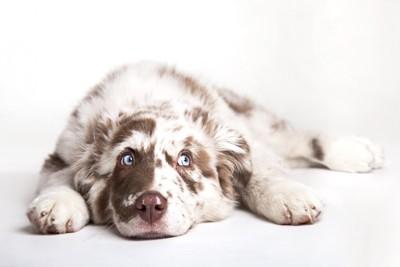 フセの姿勢で上目遣いの犬