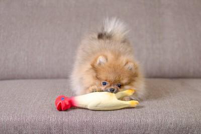 ソファーでおもちゃをくわえているポメラニアン