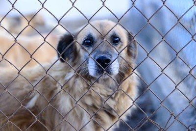 フェンス越しにこちらを見つめている垂れ耳の犬