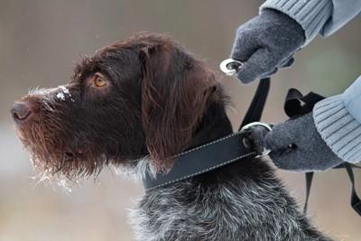 リードを付けられる犬