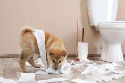 トイレでイタズラをする秋田犬の子犬