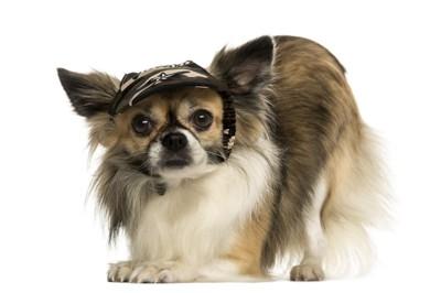 キャップ帽をかぶった犬2