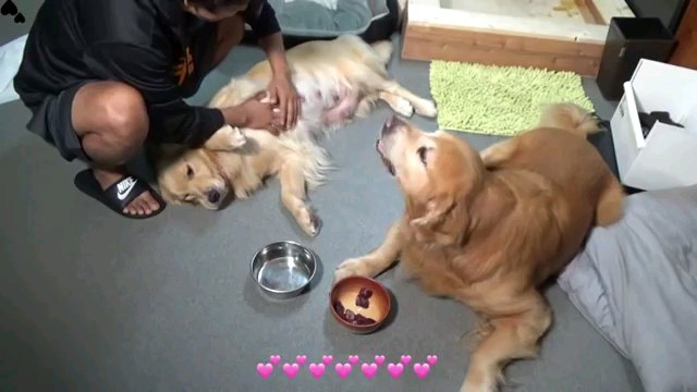 お腹を出す犬