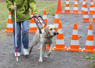 カラーコーンを避けて歩く盲導犬