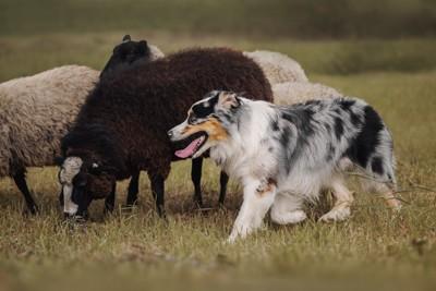 羊をハーディング中のオーストラリアンシェパード