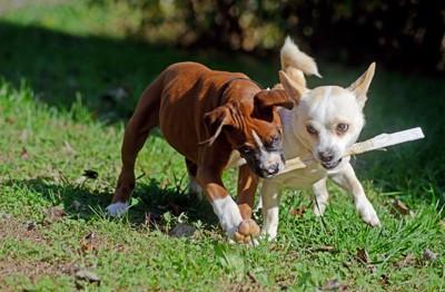 2頭の犬取り合い