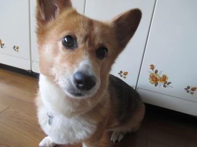 コーギー 私の愛犬の写真