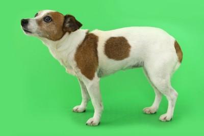 上目遣いで体を低くする犬