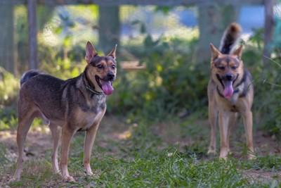 舌を出してドッグランで遊ぶ二匹の犬