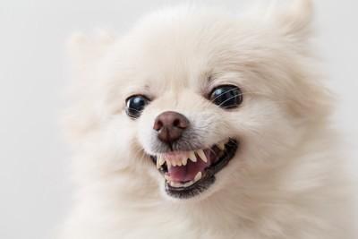 歯を出して唸るポメラニアン