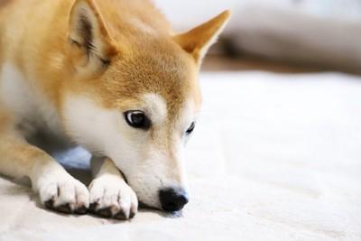 視線の端で様子を見ているような犬