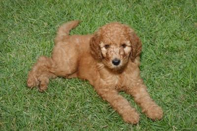 芝生でくつろぐスタンダードプードルの子犬
