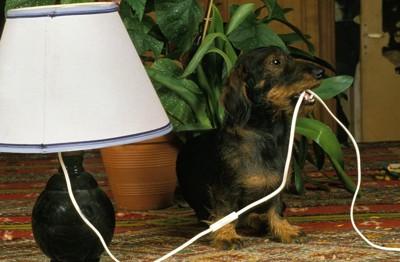 電灯のコードをくわえるダックスフンド