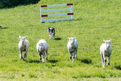 羊を追う犬