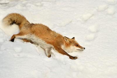 雪の中を歩くキツネ