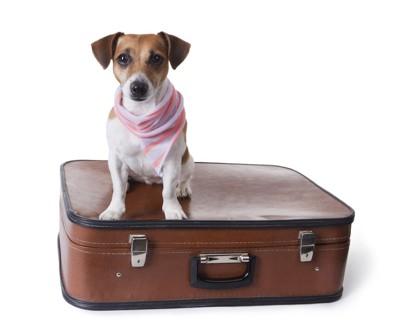 スーツケースの上に座るジャックラッセルテリア