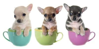 ティーカップに入っている子犬たち