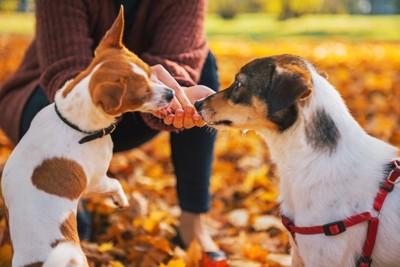落ち葉の上で飼い主におやつをもらう二匹の犬