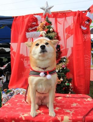 クリスマスセットでコスプレしている柴犬