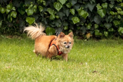 芝生を歩くポメチワ