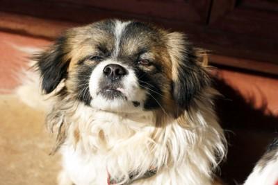 日向ぼっこする老犬