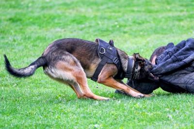 犯人を捕らえる警察犬、訓練の様子