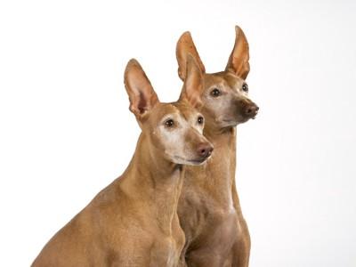 耳が立っている二匹の犬