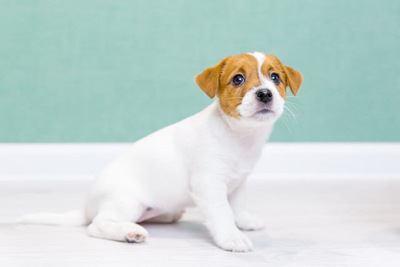 おすわりするジャックラッセルテリアの幼犬
