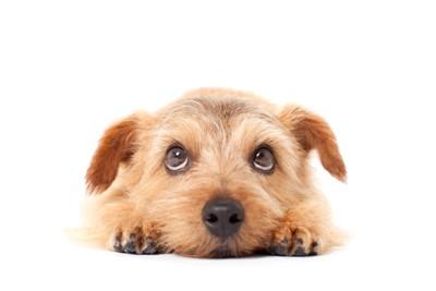 上目遣いで伏せる犬