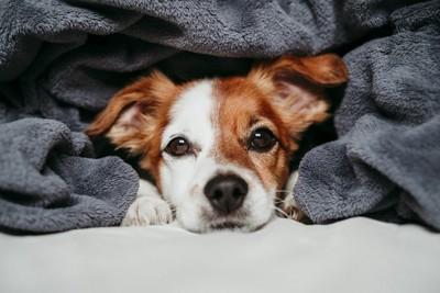 毛布の中から見つめる犬