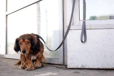 ドアの前にリードで繋がれて悲しげな顔をしているダックスフンド