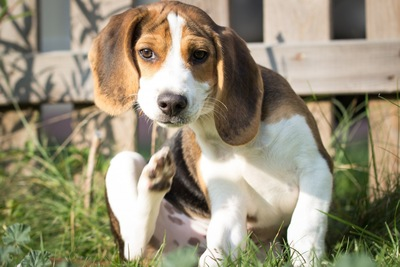 耳を掻く犬