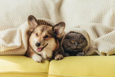 黄色いソファーで一緒に寛ぐコーギーと猫