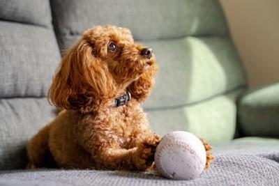 ソファーの上でボールを持つトイプードル