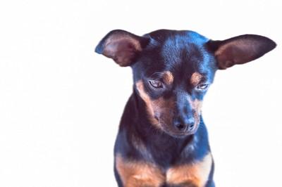 悲しい表情でうつむく犬