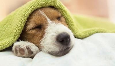 タオルを乗せて眠る犬
