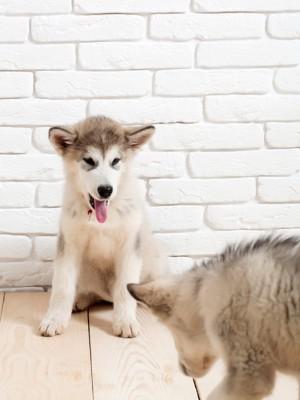 壁の前に座るハスキーの子犬2頭