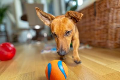 目の前のボールを直視する犬
