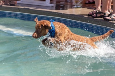 プールに飛び込むチェサピークベイレトリバー