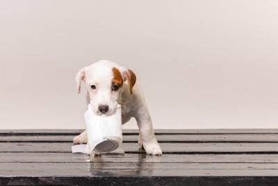 トイレットペーパーを咥えて運ぶ子犬