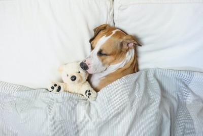 ぬいぐるみと一緒にベッドで眠る犬