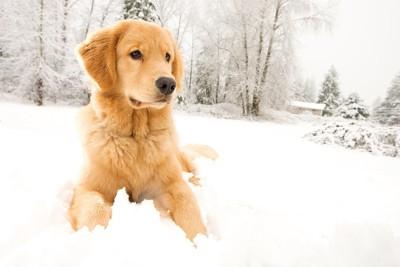 雪の中のゴールデンレトリバー