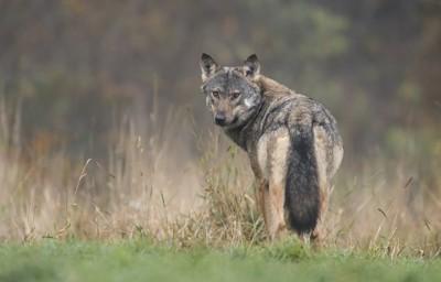 ふり返るオオカミ