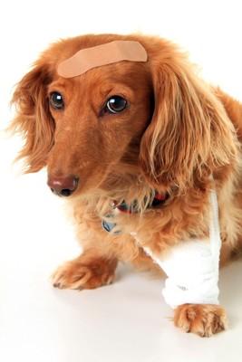 絆創膏を付けた犬