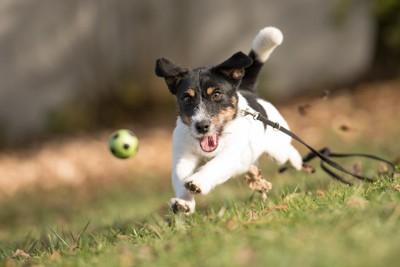 ボールを追いかけて走る仔犬